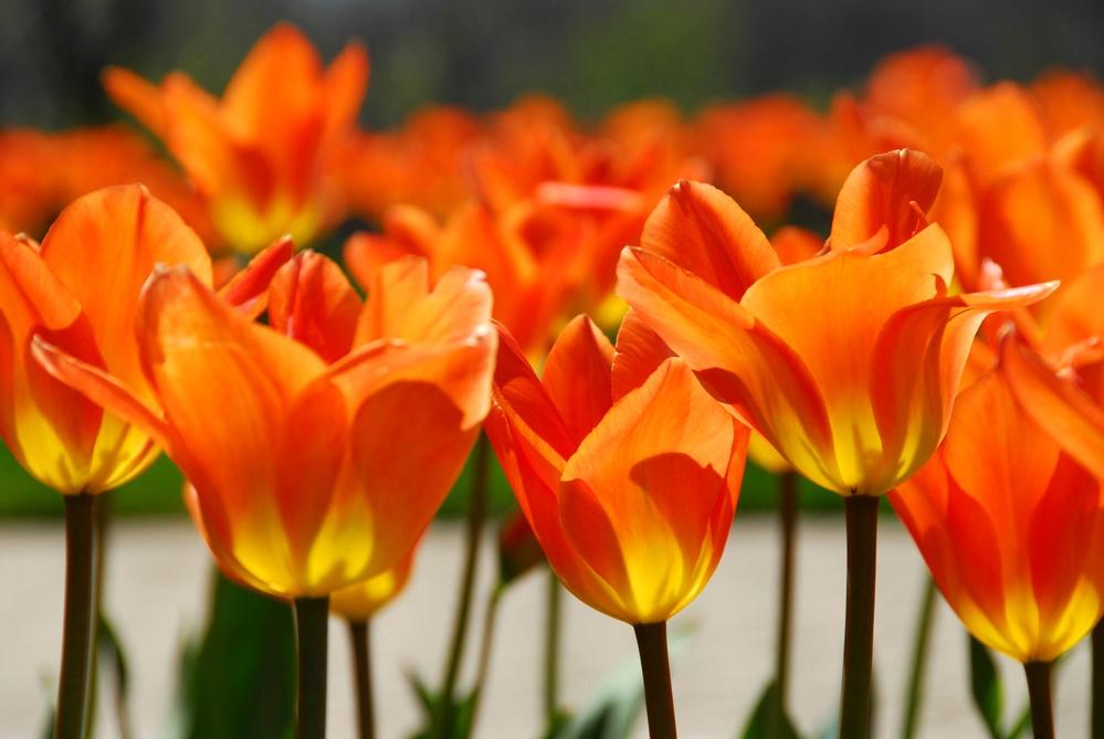 Апрельские тюльпаны