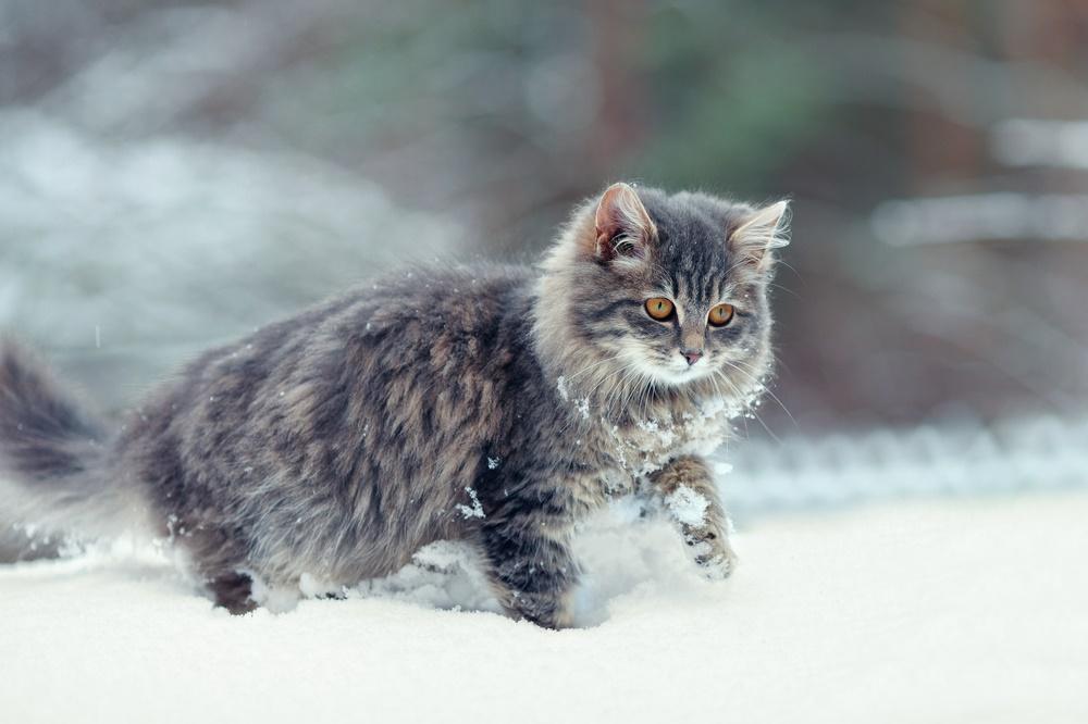 Сегодня День кошек в России