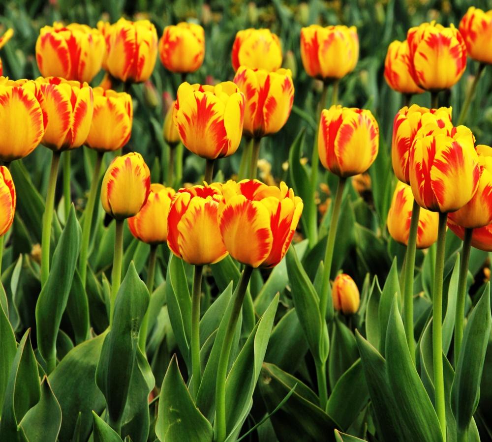 Какая весна без тюльпанов?