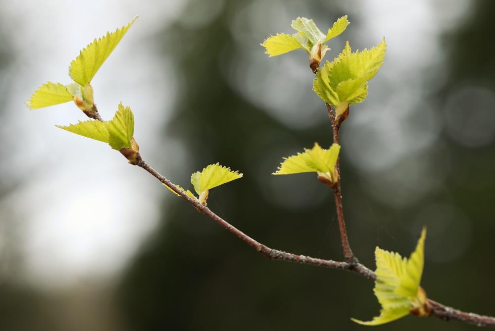Распускаются березовые листочки. Весна!