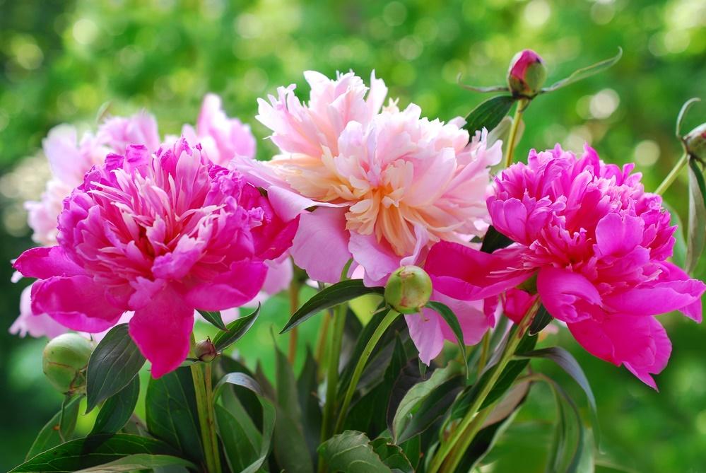 Настало время цветения пионов