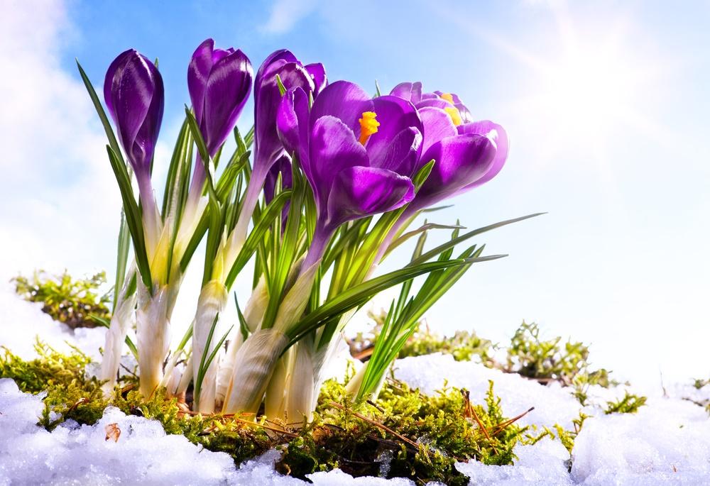 Крокусы и солнышко. Весна!
