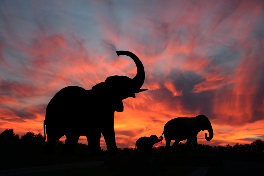 Слоны приветствуют заход солнца
