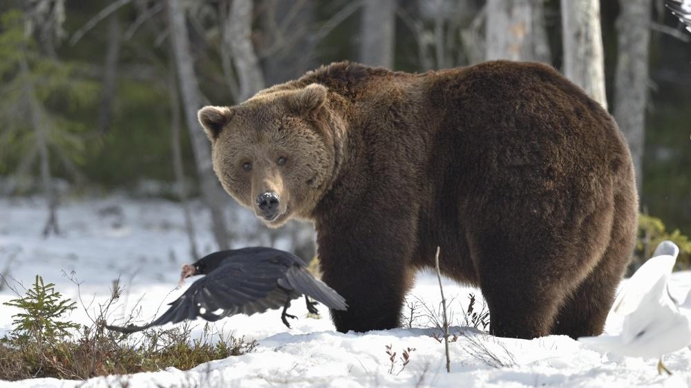 Главным событием Евтропиева дня было пробуждение медведя