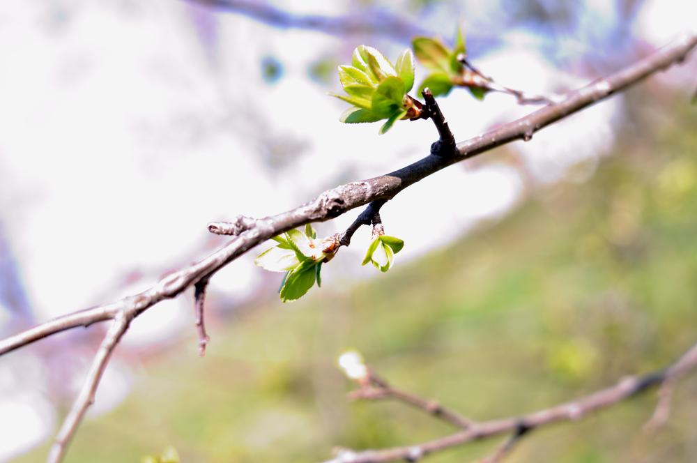 Распускаются листья на деревьях, весна!
