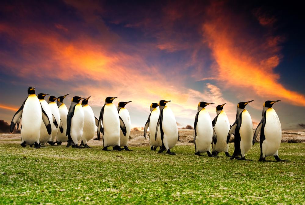 Марш королевских пингвинов. Фолклендские острова