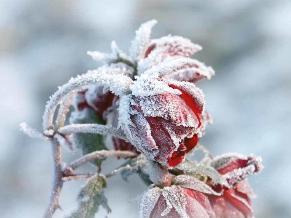 Замерзшие розы