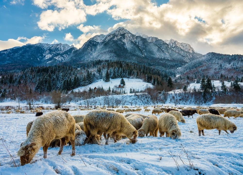Овцы на зимнем пастбище