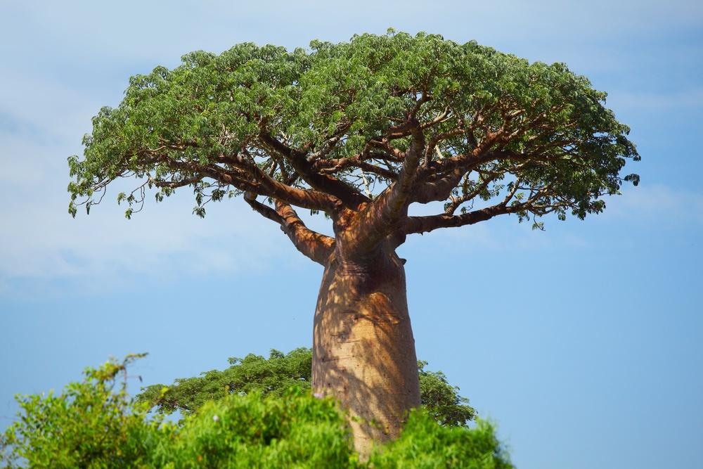 Древний житель острова Мадагаскар - баобаб