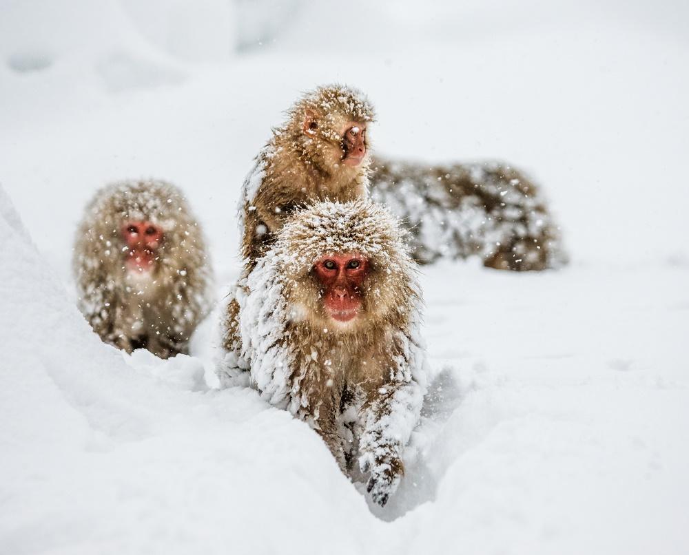 Японские макаки зимой. Нагано, Япония