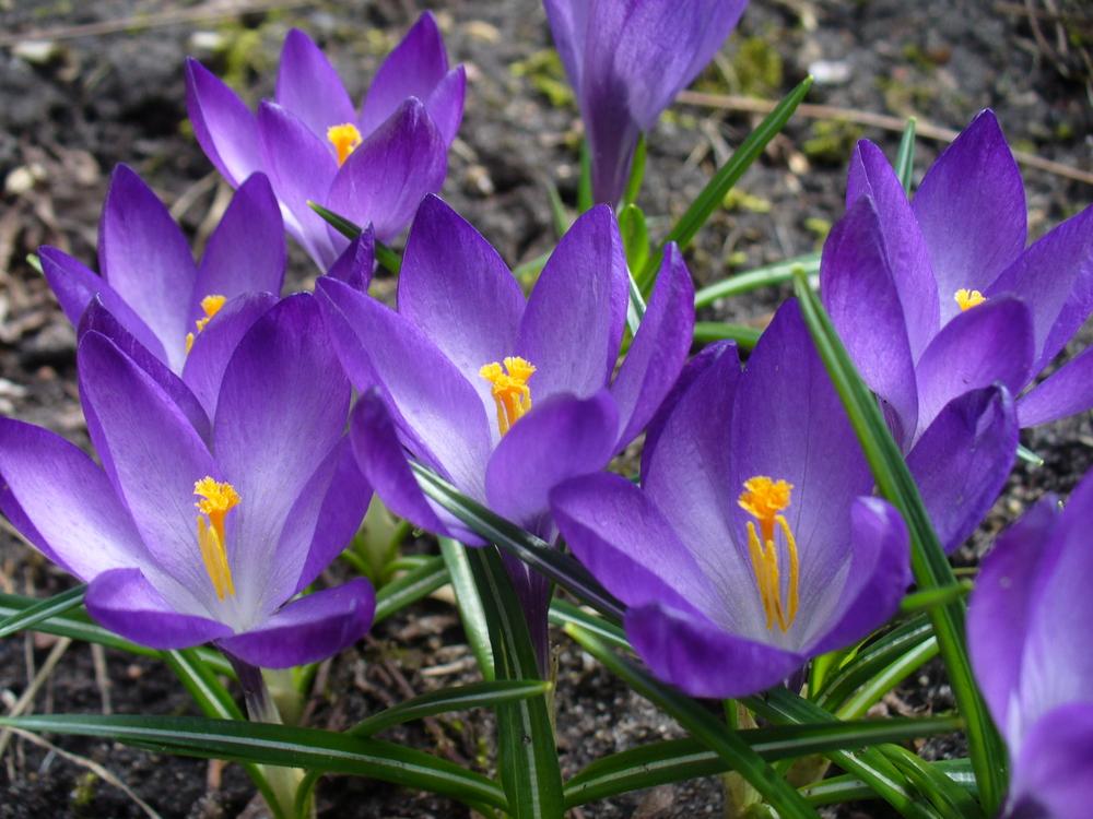 Во всю цветут крокусы