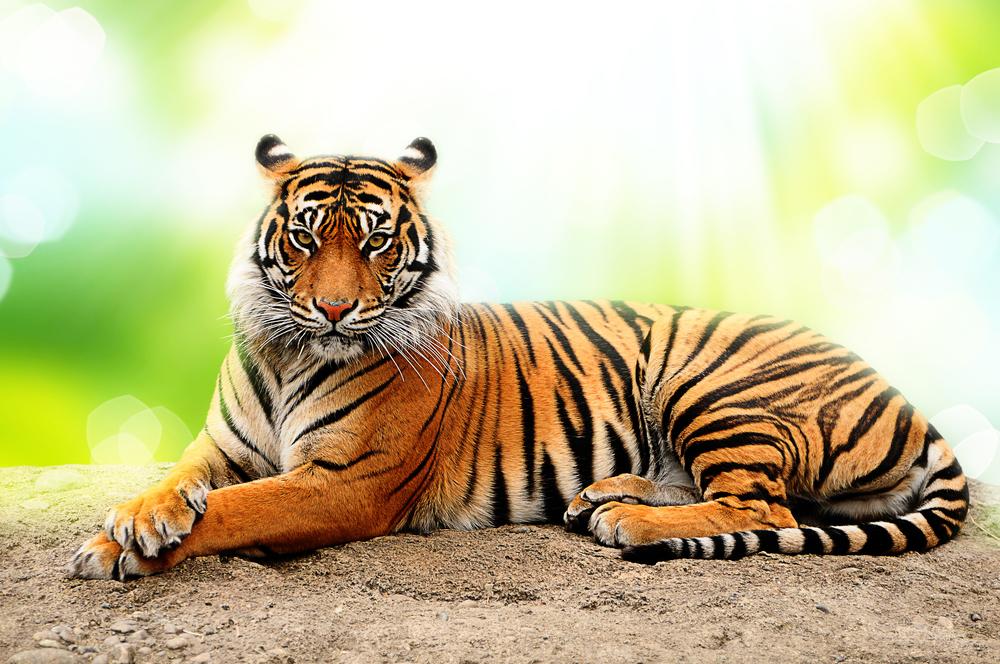 29 июля -Международный день тигра