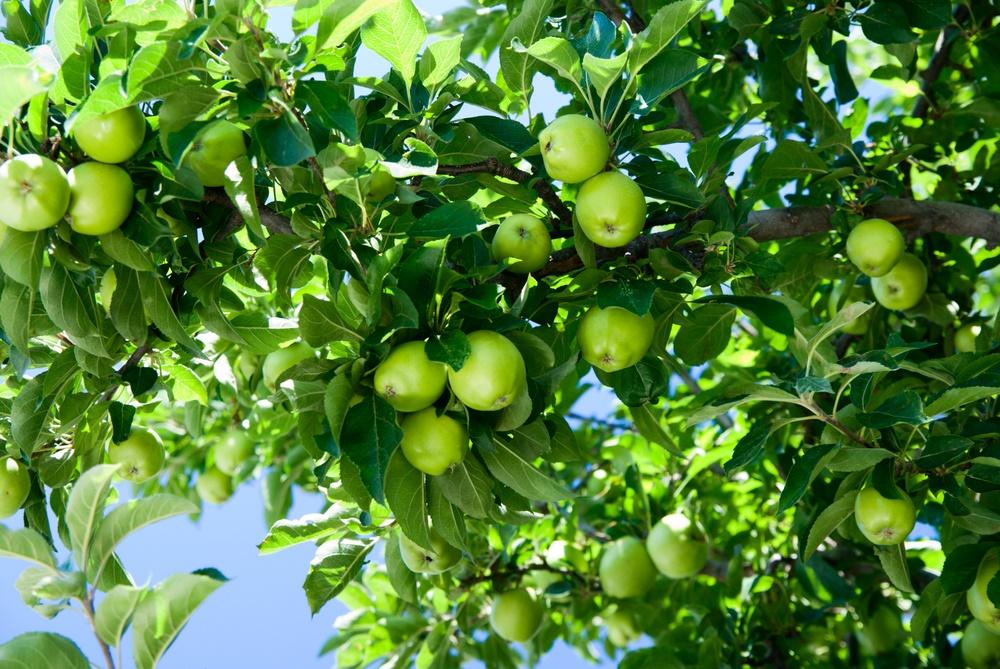 Зреют яблоки в саду