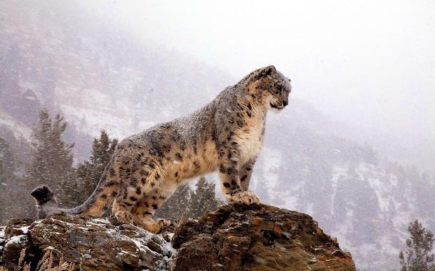Картинки по запросу Международному дню снежного барса (International Snow Leopard Day)