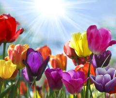 Парад цветов в Аалсмеере (Голландия)