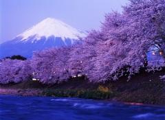 О-ханами — фестиваль цветения и любования сакурой в Японии