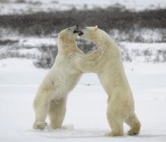 Международный день полярного медведя