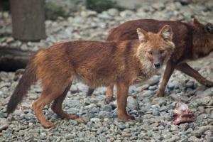 День красного волка