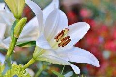 Венок из белых лилий