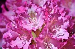 Восемь секретов выращивания роскошных рододендронов