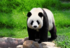 Французский натуралист в Китае получил в подарок шкуру неведомого животного - панды