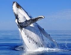 Китобойное судно «Эссекс» протаранено гигантским китом