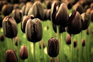 В Голландии пышно отметили рождение черного тюльпана