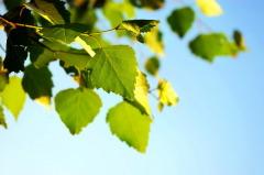 Вьюн Зеленый