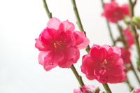 Цветение персика розовое и нежное (Фото: windmoon, Shutterstock)