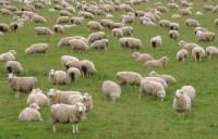 В стране развито овцеводство (Фото: urosr, Shutterstock)