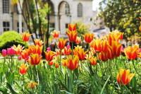 Османский тюльпан – королевский цветок (Фото: Mikhail Markovskiy, Shutterstock)