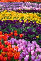 В городе высаживаются миллионы тюльпанов... (Фото: tratong, Shutterstock)