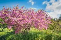 Цветущее миндальное дерево - символ праздника (Фото: zebra0209, Shutterstock)