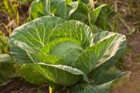 В этот день в южных регионах сеяли раннюю капусту (Фото: Glenkar, Shutterstock)