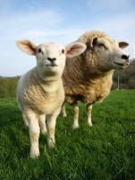 Святую Анастасию на Руси считали заступницей овец (Фото: 1000 Words, Shutterstock)
