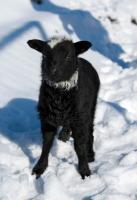 Овчары «окликали» звезды, чтобы овцы давали большой и здоровый приплод (Фото: Chu-x, Shutterstock)