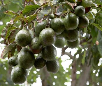 Развесистый авокадо. Фото: Shutterstock
