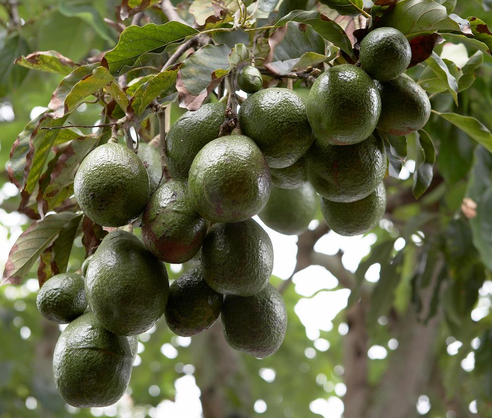 как растет авокадо дерево фото внимательно изучайте портфолио