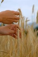 Когда женщина сжинала первые колосья, она делала из них пояс... (Фото: Simon Krzic, Shutterstock)