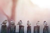 Существовало поверье, что в Семин день черт меряет воробьев своею меркою... (Фото: Smit, Shutterstock)