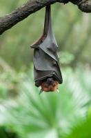 Сегодня многие виды летучих мышей находятся на грани исчезновения (Фото: anshu18, Shutterstock)