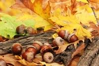 Если на дубе видели много желудей, это обещало теплую зиму и плодородное лето (Фото: Africa Studio, Shutterstock)
