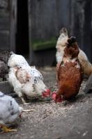 На Спиридона полагалось кормить кур зерном из правого рукава (Фото: Kemeo, Shutterstock)