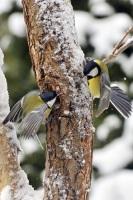 Если поутру синички кричат — значит, к вечеру будет мороз... (Фото: Karin Jaehne, Shutterstock)