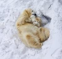 Интересно, что полярным медведям очень комфортно при температуре окружающей среды минус 45 градусов и ниже (Фото: Belovodchenko Anton, Shutterstock)