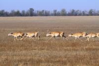 На территории Калмыкии обитает единственная сохранившийся в Европе популяция сайгака (Фото: BBH, Shutterstock)